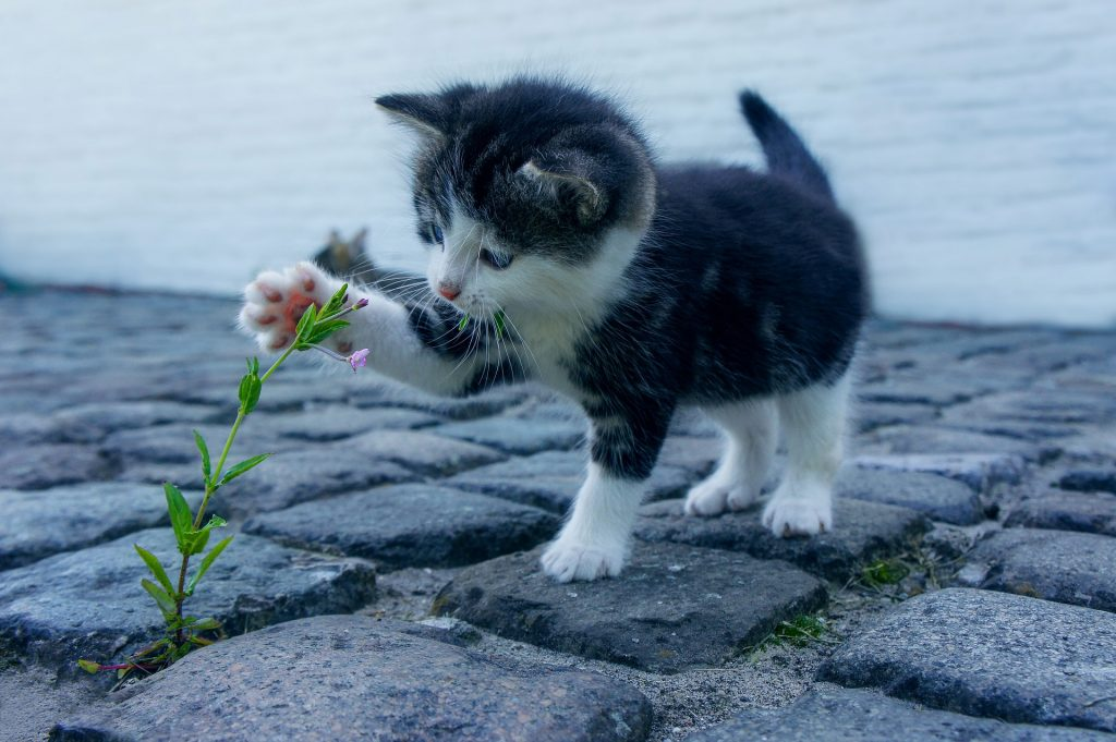 amerikai-rovidszoru-macska-pic1