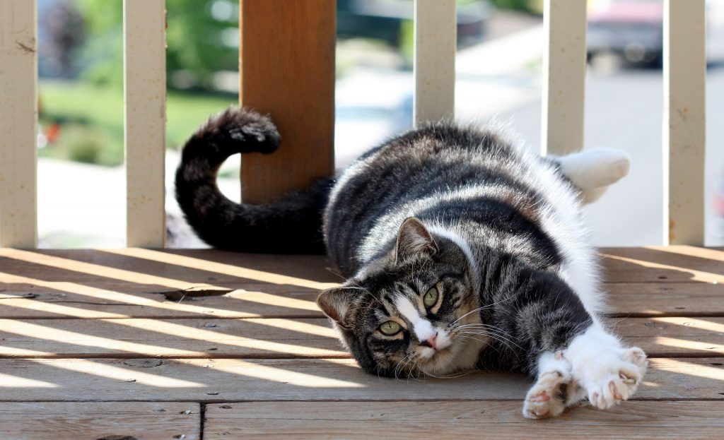 amerikai-rovidszoru-macska-pic2